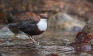 Picture of White-throated Dipper