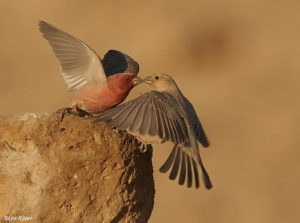 Sinai Rosefinch Pics