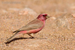 Sinai Rosefinch Picture