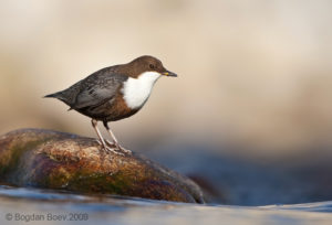 White-throated Dipper Picture