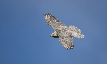 national bird of Iceland