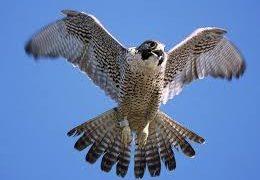 national bird of Kuwait