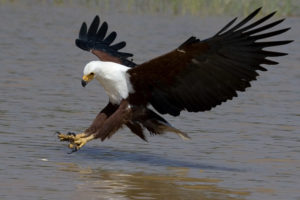 picture of African Fish Eagle