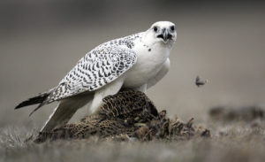 picture of Gyrfalcons