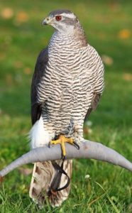 picture of Northern Goshawk