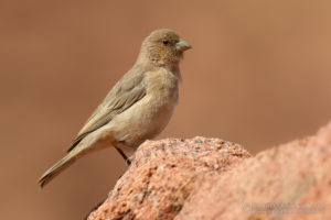 Picture of Sinai Rosefinch