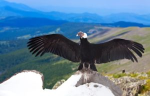 Andean Condor Pics