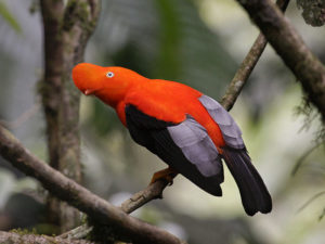 Andean cock-of-the-rock Picture