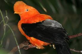 Picture of Andean cock-of-the-rock