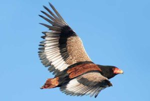 Bateleur Eagle Pics