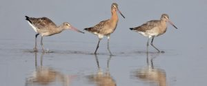 Black-tailed Godwit Picture