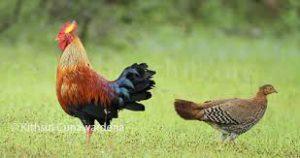 Ceylon Jungle fowl Picture