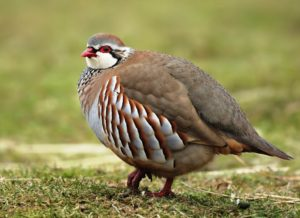 Chukar partridge Picture
