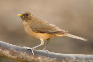 Clay Colored Thrush pics