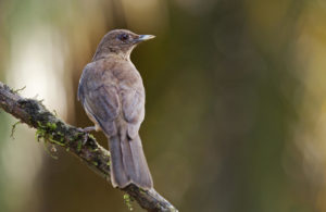 Clay Colored Thrush picture