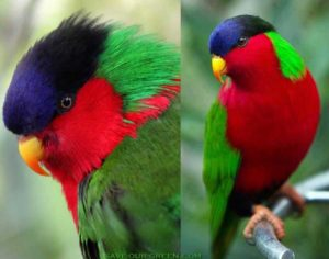 Collared Lory Pics