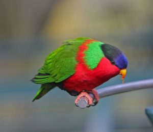 Collared Lory Picture