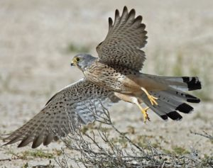 Common Kestrel picture
