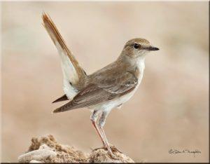 Common Nightingale picture