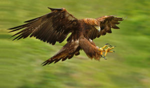 Golden Eagle Picture