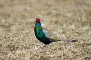 Green Pheasant Pics