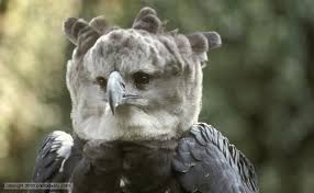 Harpy Eagle Pics