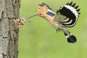 Hoopoe picture