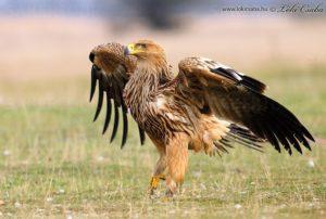 Imperial Eagle pics
