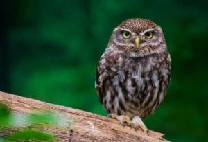 Little owl Pics