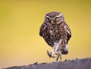 Little owl Picture