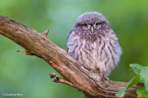 picture of Little owl