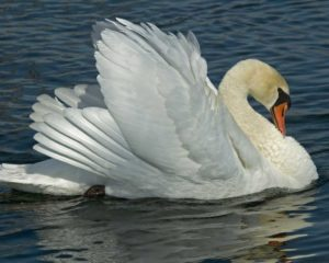 Mute Swan Picture