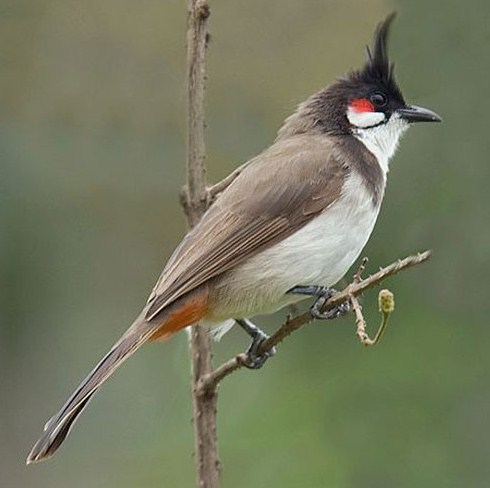National Bird of Bahrain