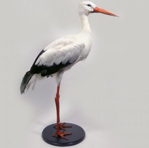 National Bird of Belarus