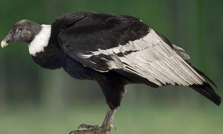 National Bird of Bolivia