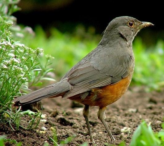 National Bird of Brazil