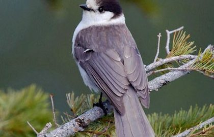 National Bird of Canada