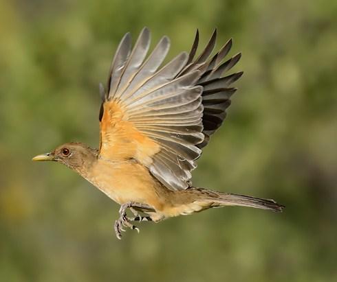 National Bird of Costa Rica