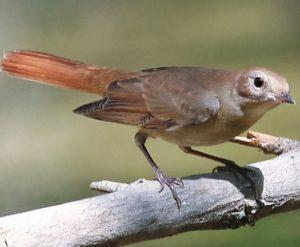 Common Nightingale : National Bird of Croatia
