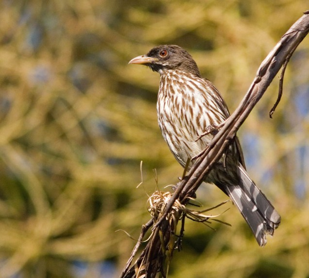 National Bird of Dominican Republic
