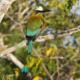 National Bird of Nicaragua