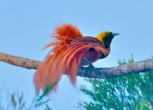 National Bird of Papua New Guinea Pics