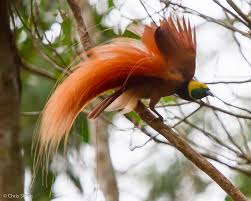 National Bird of Papua New Guinea Picture