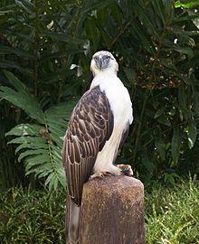 Philippine Eagle Pics