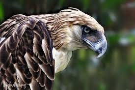Philippine Eagle Picture