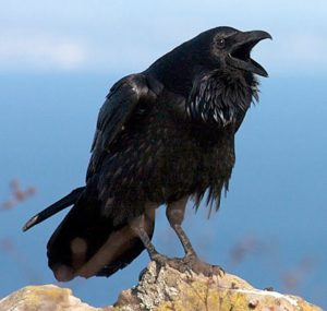Picture of Common Raven
