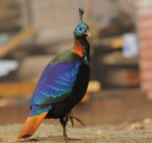Picture of Himalayan Monal