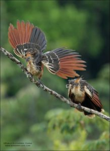 PICTURE OF Hoatzin