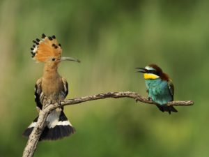 Picture of Hoopoe