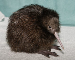 Picture of Kiwis